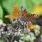 Fjärilar-i-kvartett_edited-2